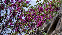 Valley of Cercis (Poria) Tags: flower nature landscape iran outdoor persia valley  mashhad khorasan cerci  cercis torghabeh