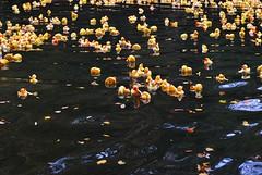 Entenrennen (kunstmacher) Tags: autumn color fall rio yellow river germany deutschland herbst ducks amarillo gelb pato alemania otoño enten fluss tuebingen neckar rubberducks entenrennen tübingen tubinga carreradepatos gummieenten