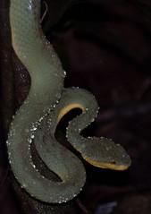 DSC_1401 (akkythegunner) Tags: macro green nature photography snake wildlife insects frogs viper herp herps matheran naturephotography macrophotography catsnake greenvinesnake bamboopitviper