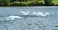 Mute Swans Yeadon Tarn (jdathebowler Thanks for 4.5 Million + views.) Tags: bird nature swan muteswans yeadontarn cygnusolor greatphotographers aquaticbird naturescall thebeautyofnature naturemasterclass