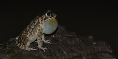 singer toad (Bernal Saborio G. (berkuspic)) Tags: wildlife amphibian toad sapo tropicalrainforest anfibio