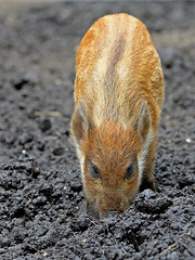 Rooting (Wildlife Online) Tags: baby animal mammal pig piglet boar newforest sus britishwildlife wildpig wildboar susscrofa ukwildlife boarlet babywildboar newforestwildlifepark marcbaldwin wildlifeonline captivewildboar hampshirewildboar