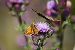 Dinner for two (Charlotte Varela) Tags: nature wildlife butterflies insects smalltortoiseshell smallskipper clowbridgereservoir bigbutterflycount