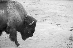 Safari Aitana 24-10-2015 (Sento MM) Tags: safari alicante animales aitana búfalo