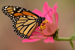 Monarch, Danaus plexippus (holdit.) Tags: butterfly lepidoptera monarch milkweed wanderer danausplexippus commontiger blackveinedbrown