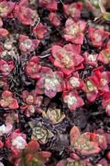 Dudleya farinosa / Sea-bluff-lettuce (celiaronis) Tags: celia dudleya pointreyescelia
