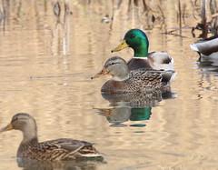 Mallard pair (vischerferry) Tags: reflection water duck mallard waterfowl anasplatyrhynchos converter eriecanal dabblingduck aquaticbirds canon70d