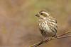 BJ8A5791-Purple Finch (tfells) Tags: purple finch songbird bird nature nj princeton woods newjersey passerine