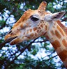 AUSTRALIA GIRAFFE (patrick555666751) Tags: australiagiraffe australia giraffe girafe australie oceanie animaux animal animals animali animales worldwide fauna faune flickr heart group taronga zoo nouvelle galles du sud new south wales worlwide