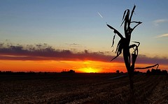 the lone survivor.... (BillsExplorations) Tags: sunset harvest country field countrysky rural sky lone survivor cornstalk outdoor illinois silhouette