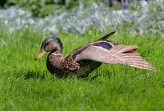 It's Yoga time ;-) (Anja van Zijl) Tags: ente duck animal tier eend natur nature