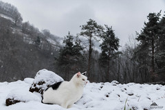 Very Comfortable In The Snow ❄ (Xena*best friend*) Tags: richardgere rg cats whiskers feline katzen gatto gato chats furry fur pussycat feral tiger pets kittens kitty piedmontitaly piemonte canoneos760d italy wood woods wildanimals wild paws animals calico markings ©allrightsreserved purr digitalrebelt6s efs18135mm flickr outdoor animal pet winter snow cold frozen catsinthesnow catsrunninginthesnow catsplayinginthesnow catshavingfuninthesnow