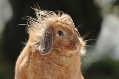 OK, can someone switch the wind off, please? (Pog's pix) Tags: rabbit bunny cute indoor windy weather wind hair fur windswept animal pet outdoor garden ayshire scotland stewarton eastayrshire outside funny dusty indoorrabbit outdoors