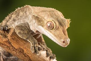 Crested Gecko D75_2663.jpg