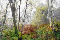 Le silence de l'automne (Ciceruacchio) Tags: mist brume brouillard nebbia forest woods bois foresta forêt bouleau betula undergrowth sousbois sottobosco morning matin matina autumn automne autunno november novembre atmosphère atmosfera trees alberi arbres nature natura landscape paysage paesaggio paesaje poète poetry poem poeta annadenoailles hourtin gironde gironda aquitaine aquitania france francia frankreich nikond750