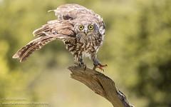 Barking Owl (Yasir Subhan) Tags: barkingowl owl winkingowl canon7dmarkii fullflightbirdsofpreycentre