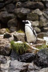 IMG_4146 (TvdMost) Tags: africanpenguin burgerspark burgerszoo spheniscusdemersus zwartvoetpenguin blackfootedpenguin brilpinguïn jackasspenguin zwartvoetpinguïn