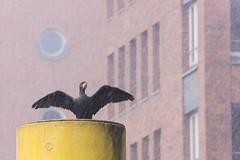 sehnsüchtig warten auf Sonnenschein (tleesch) Tags: aves deutschland hafencity hamburg kormorane neognathae neukiefervögel orte pelecaniformes phalacrocoracidae ruderfüser schnee vögel winter de