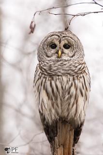 ''La belle mélancolique!'' chouette rayée/Barred owl-strix varia