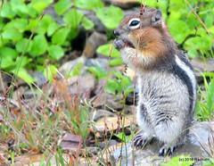 DSC_0671 (rachidH) Tags: squirrel écureuil rodents goldenmantledgroundsquirrel spermophiluslateralis callospermophiluslateralis spermophileàmanteaudoré écureuilterrestreàmanteaudoré spermophileàmanterayée logan pass loganpass westglaciernationalpark montana rockymountains mt rachidh nature