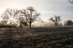 the shining tree (leaving-the-moon) Tags: 2016 201612 baden bäume deutschland germany goodlight kraichgau landscape landschaft raureif sweethome trees whitefrost winter wood