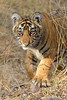 ADS_0000115619 (dickysingh) Tags: tigers cubs family noor wild wildlife bigcats ranthambore ranthambhorenationalpark