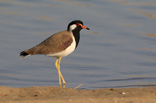 Vanneau indien - Saih al Salam Desert Reserve/Dubai/UAE_20170109_4525