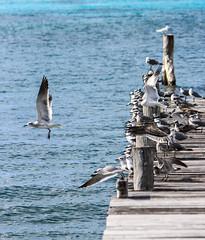 IMG_0349 (DaveGifford) Tags: mexico islamujeres birds jetty seagull casabonita quintanaroo