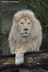African white lion 'Credo' - Ouwehands dierenpark (Mandenno photography) Tags: dierenpark dierentuin dieren animal animals african afrikaanse lion lions leeuw leeuwen credo ouwehands nederland netherlands rhenen