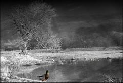 The Pond in Winter (maureen bracewell) Tags: england uk countryside hills landscape local mist rural snow winter ice nature ducks tree pond mono trees maureenbracewell