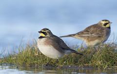 Shore Lark (Horned Lark) (J J McHale) Tags: eremophilaalpestris hornedlark shorelark lark scotland fife nature