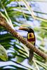 Fiery-billed Aracari Toucan (dataichi) Tags: costa rica travel tourism destination animal animals wildlife nature tropical forest toucan bird birdwatching birding birds