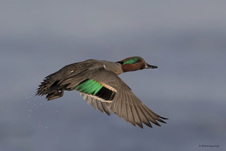 Green-winged Teal | Sarcelle à ailes vertes