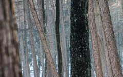 DSC05267-22 januari 2017 (mauriceweststrate) Tags: 135mm 28 meyeroptik rozendaal sonya77 winter bos bossen cold forest forests mauriceweststrate meyeroptikgorlitz135mmf28 tree trees stilllife stilleven mozaïek mozaiek mosaic