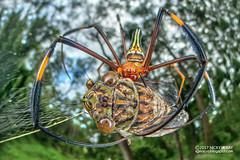 Golden orb weaver (Nephila pilipes) - DSC_9820 (nickybay) Tags: macro singapore jalansamkongsi nephilidae nephila pilipes cctv wideangle fisheye cicada cicadidae prey golden orb weaver spider