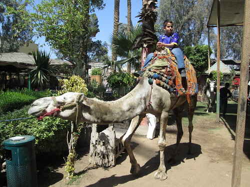 Camel young rider