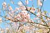 (Guilherme Santoro) Tags: cerejeira flor flower sun day