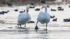 076.2 Wilde Zwaan-20170120-J1701-42945 (dirkvanmourik) Tags: castricum cygnuscygnus noordhollandsduinreservaat vogelsvannederland whooperswan wildezwaan bird