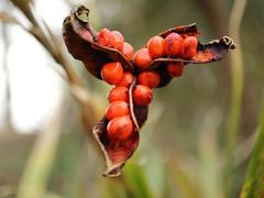 bug-eyed beans from venus (westoncfoto) Tags: sheffield botanicalgardens flowers spring early