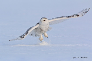 Harfang des neiges (Snown Owl)