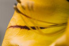 20120429-00136.jpg (tristanloper) Tags: sandiego california thewest thesouthwest flower macro sandiegocalifornia copadeoro vine copadeorovine tristanloper creativecommons free