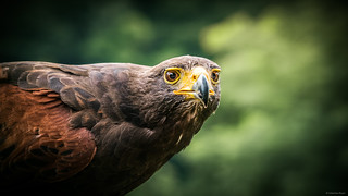 Intense Look - Eagle, Greifvogelpark Saarburg, Germany