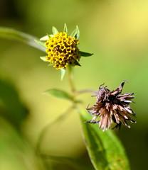 2-LittleYellowFlowers (T's PL) Tags: greenhillpark greenway littleyellowflowers virginia va macro flower plant outdoor roanokecounty nikon nikondslr nikond7000 d7000 tamron16300 nikontamron tamron16300mmf3563diiivcpzd tamron
