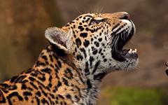 jaguar Krefeld BB2A5454 (j.a.kok) Tags: jaguar pantheraonca kat cat krefeld mammal predator zuidamerika southamerica zoogdier mato miranda