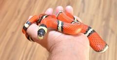 DED_8642 (Cath'art Photography) Tags: lampropeltis serpent snake serpents vetébré vertébré lait roi mue