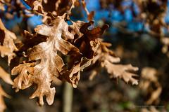 fin de otoño (joxe@n) Tags: canoneos1dsmarkll sigma1530 joxenfoto joseantonioandresgomez aybalaostia hojas otoño seco roble laalamedilla salamanca