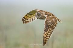 short-eared owl (fire111) Tags: shorteared owl velduil bird birding wild wildlife uitkerke polders flight bif
