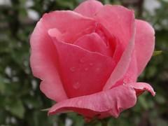 "Beauty (Gartenzauber) Tags: pink rose sony natur garten floralfantasy topshots macroelsalvador excellentsflowers exquisiteflowers mimamorsflowers flowerarebeautiful saariysqualitypictures greatshotss natureandpeopleinnature ""doublefantasy"" fleursetpaysages mixofflowers esenciadelanaturaleza rosesforeveryone magicmomentsinyourlife magicmomentsinyourlifelevel3 onlythebestofflickr nature'splus photothebestofmimamorsgroups"