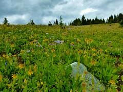 7-088 (Gnarlene) Tags: flower hiking banff healypass monarchramparts