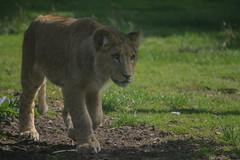 Welp Beekse Bergen (pclaesen) Tags: zoo lion nederland brabant beeksebergen dierentuin leeuwin leeuw nikond3200 hilvarenbeek welp